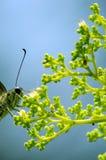 Buterfly di esile immagine stock