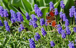 Buterfly in garden. Nice butterfly in garden, city Ruzomberok royalty free stock images