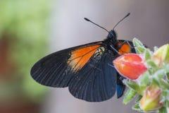 Buterfly i tłustoszowaty kwiat fotografia royalty free