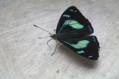Buterfly iridescent Photographie stock libre de droits