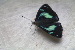 Buterfly iridiscente Fotografía de archivo libre de regalías