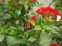 Buterfly na flor vermelha Imagem de Stock Royalty Free