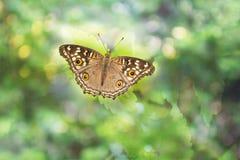 buterfly no bokeh sonhador Imagens de Stock Royalty Free