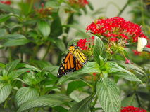 Buterfly on red flower Royalty Free Stock Image