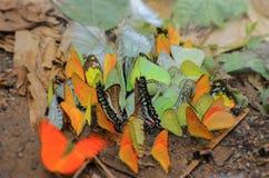 Buterfly su terra Fotografie Stock