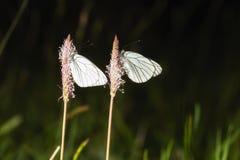 2 buterflys Стоковое фото RF