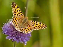 buterrfly kwiatu issoria lathonia kolor żółty Obrazy Royalty Free
