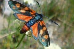 Buterrfly, Zygaena filipendulae - Zdjęcie Royalty Free