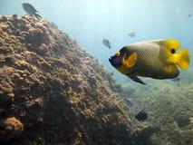 butflyfish Royaltyfria Bilder