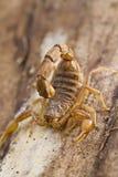 buthus skorpion Zdjęcia Stock