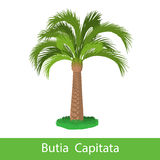 Butia Capitata cartoon tree Stock Image