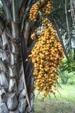 Butia palm, Uruguay Stock Photography