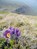Butiful pasque-flower violet flower blooming on the mountain slope in spring closeup royalty free stock images