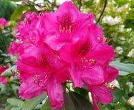 Butiful rosa färgblomma Royaltyfria Bilder