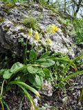 Beautiful small yellow flowers blooming among the stones in spring closeup stock photo