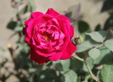Butifull rouge de Rose Flower photographie stock