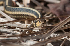 Butler's Garter Snake Royalty Free Stock Photo