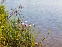 Butomus umbellatus flowers on a background of water and grass Stock Image