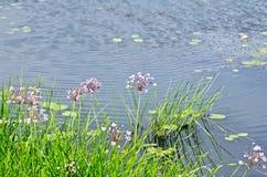 Butomus umbellatus with water Royalty Free Stock Image