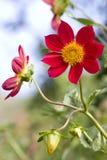 buton kwiatu kwiatonośni płatki czerwoni Obrazy Royalty Free