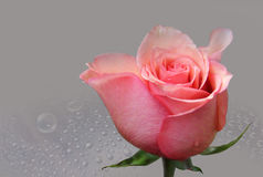 Buton roses of the rose colour. On gray background stock photo