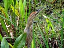 Butor étoilé américain (lentiginosus de Botaurus) Images libres de droits