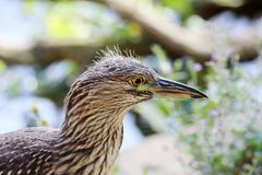 Butorides striatus profile the branch Royalty Free Stock Photography