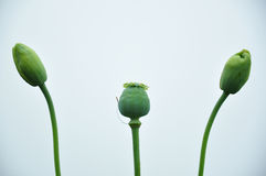 Bud of Opium royalty free stock photography