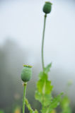 Bud of Opium stock images