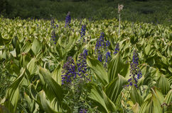 Butte-Gebirgsblumen mit Haube Stockfoto