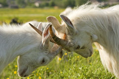 Butted goats. Royalty Free Stock Photography