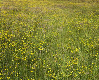 Butteercup-Wiese stockfoto
