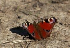 buttefly红色在日落的地面 图库摄影