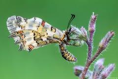 buttefly Allancastria deyrollei在花 免版税库存图片