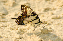 Buttefly at the beach Stock Image