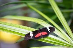 Buttefly che riposa su una foglia di verde lungo con le ali in espansione immagini stock libere da diritti