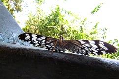 Buttefly con i modelli del cuore sulle sue ali che stanno con la vittoria aperta fotografia stock libera da diritti