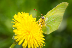 Buttefly on dandelion. Close-up of a butterfly on dandelion Stock Photos