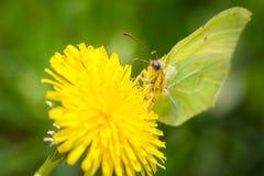 Buttefly en el diente de león Fotos de archivo