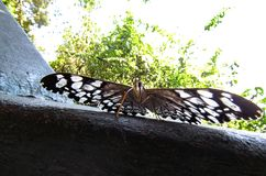 Buttefly with Heart Patterns on its Wings Standing with Open Win. Gs Royalty Free Stock Photo