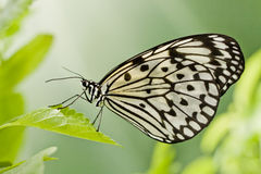 buttefly on a leaf Stock Image