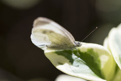 Buttefly on a leaf Royalty Free Stock Photo