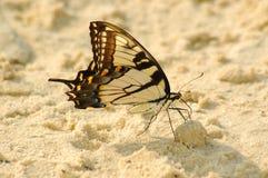 Buttefly na praia Imagem de Stock