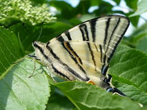 buttefly - Scarce Swallowtail Stock Image