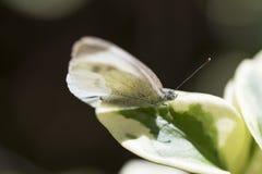 buttefly su un foglio Fotografia Stock Libera da Diritti