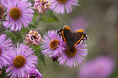Buttelfly auf einer Blume Lizenzfreies Stockbild