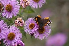 Buttelfly na kwiacie Obraz Royalty Free
