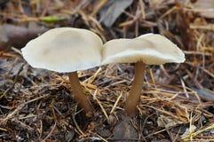 Butter Cap Fungi - Collybia butyracea Stock Photography