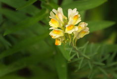 Butter-and-eggs or Toadflax Stock Photos