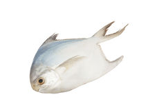 Butter fish Stock Image